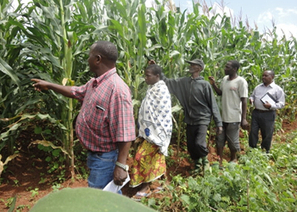 Tanzania: New maize hybrids a breakthrough to drought and common diseases | MAIZE | Scoop.it