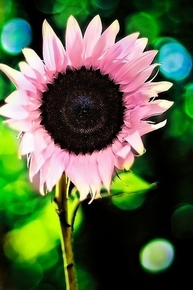 Pink sunflowers i wish they were real | Backyard Gardening | Scoop.it