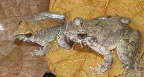 Scientists discover first known frog that gives birth to tadpoles instead of laying eggs | animals and prosocial capacities | Scoop.it
