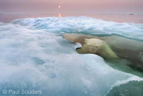 The water bear | Hurtigruten Arctique Antarctique | Scoop.it