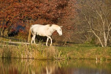 Horse Body Weight, Age Important Laminitis Risk Factors - TheHorse.com | Horse Kinetics | Scoop.it