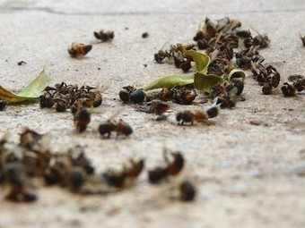 Florida citrus grower fined $1,500 for killing millions of honeybees | Freefire Nature | Scoop.it