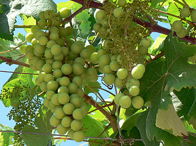 Learning English - Grammar, Vocabulary & Pronunciation - Sour grapes | Phonology | Scoop.it