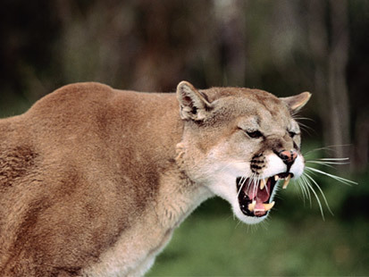 Mountain Lion Attacks Man, 63 | READ WHAT I READ | Scoop.it