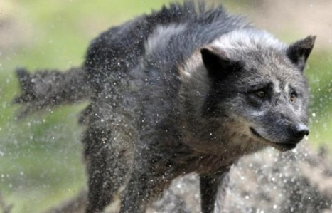 Alpes-Maritimes: Des loups attaquent un troupeau aux portes d'un village | CRAKKS | Scoop.it