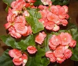 Begonia tuberosa - Begonia x tuberhybrida | Flores y plantas | Scoop.it