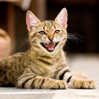 10 Sounds That Cats Make -- and What They Mean - Catster | Breeds of Cats | Scoop.it
