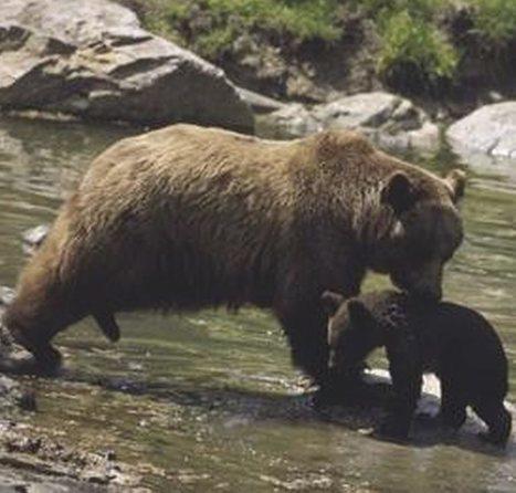 Ours dans les Pyrénées, loups en Aveyron : les agriculteurs se rebiffent | Loup | Scoop.it