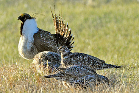 Sage grouse rules mostly happy talk | GarryRogers NatCon News | Scoop.it