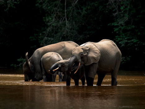 Gabon launches elephant fences in pioneering conservation move | Pachyderm Magazine | Scoop.it