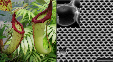 Meat-Eating Pitcher Plant Inspires Self-Cleaning 'Super Glass' | Biomimicry | Scoop.it