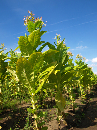 Why Are Children Working in American Tobacco Fields? | up2-21 | Scoop.it