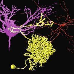 Un catálogo exhaustivo de las neuronas   Science   Scoop.it
