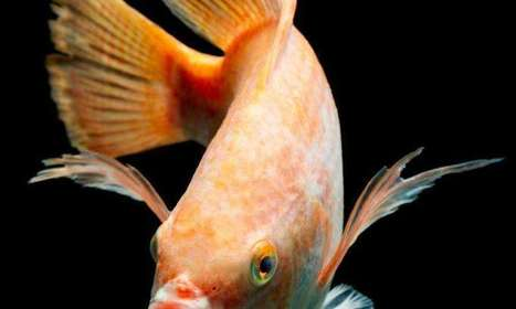 Selective breeding and immunization improve fish farm yields - Phys.Org | Aquaculture Directory | Scoop.it