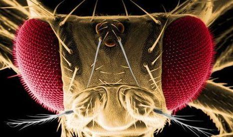La mosca del vinagre desvela los misterios de las enfermedades neurodegenerativas. | Noticias del 3º Trimestre | Scoop.it