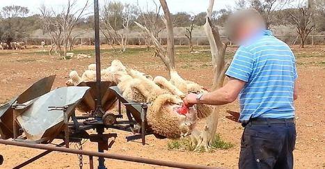 Encore et toujours: des moutons frappés, piétinés et mutilés pour de la laine | Chasse, Braconnage et Droits des Animaux | Scoop.it