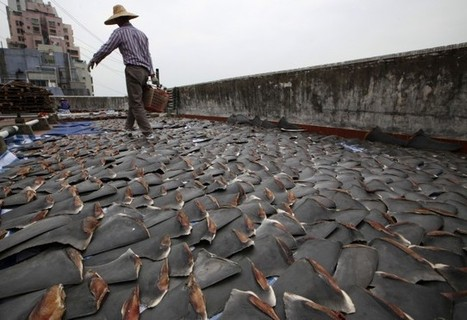China Bans #Shark Fin Soup From Official Banquets - ThinkProgress. | Sharks | Scoop.it