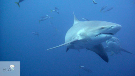 Top 8 Sharks You can Encounter in South Africa - Élite Diving Agency | Diving | Scoop.it