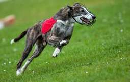 Thousands of greyhounds killed each year, Australia inquiry told | Nature Animals humankind | Scoop.it