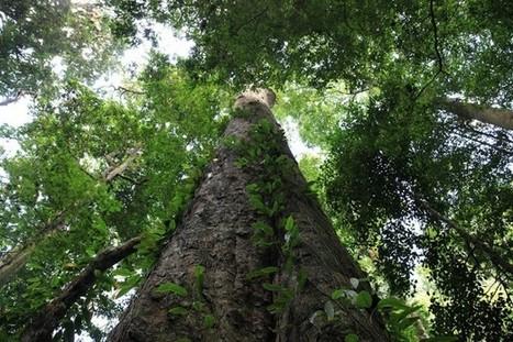 Incroyables découvertes : les plus grands arbres du monde | Biodiversité & Relations Homme - Nature - Environnement : Un Scoop.it du Muséum de Toulouse | Scoop.it