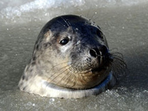 Animal rights group offers $1K reward to catch seal killers | Animals R Us | Scoop.it