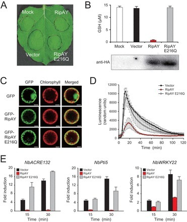 mBio: Ralstonia solanacearum Type III Effector RipAY Is a Glutathione-Degrading Enzyme That Is Activated by Plant Cytosolic Thioredoxins and Suppresses Plant Immunity   microbial pathogenesis and plant immunity   Scoop.it