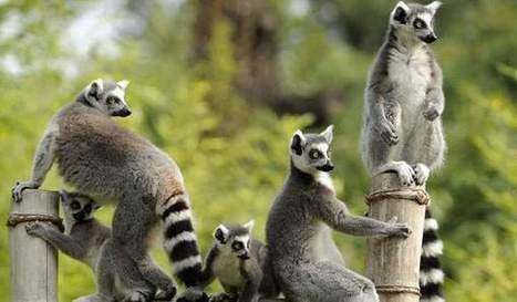 Tampa's aquarium will feature Madagascar exhibit - Northwest News and Tribune | Ring Tailed Lemurs | Scoop.it