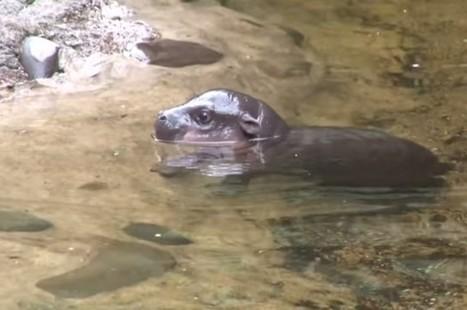 Watch A Baby Pygmy Hippo Learn To Swim | Lo que leo y otras astrologías. | Scoop.it