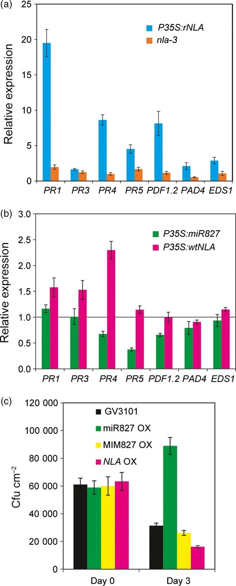 Arabidopsis miR827 mediates post-transcriptional gene silencing of its ubiquitin E3 ligase target gene in the syncytium of the cyst nematode Heterodera schachtii to enhance susceptibility - Hewezi ... | Cereal and Biotrophic Pathogens | Scoop.it