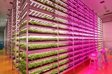 Japanese plant experts produce 10000 lettuce heads a day in LED-lit indoor farm - The Independent | LED Lighting | Scoop.it