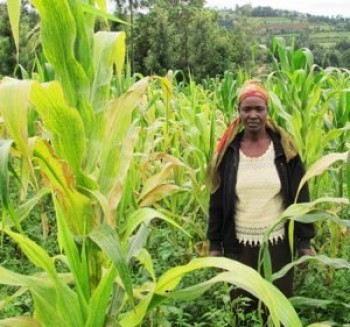 Kenya's Government unveils plan to fight deadly maize disease | MAIZE | Scoop.it