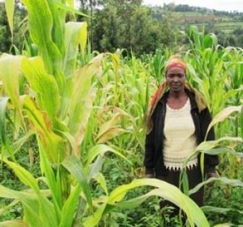 Kenya: New KARI Centre Fights Lethal Maize Disease | MAIZE | Scoop.it