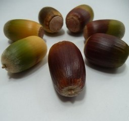 iloveACORNS | Ethnobotany in the US Mid Atlantic | Scoop.it
