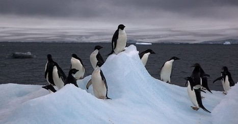 Climate change could reduce Adélie penguin populations | Weather | Scoop.it