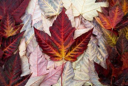 The Maple-Leaf Affair | Leadership and Art or the Art of Leadership | Scoop.it