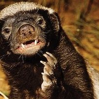 Randall's Honey Badger | My Funny Africa.. Bushwhacker anecdotes | Scoop.it