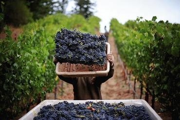 Extra-dry weather a bittersweet harvest for US winemakers | Vitabella Wine Daily Gossip | Scoop.it