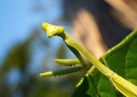 Mantid from Pook's Hill Lodge   Belize in Social Media   Scoop.it