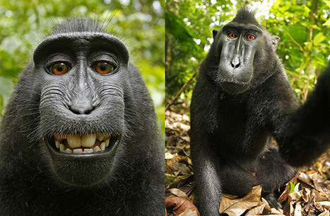 PETA Sues Photographer on Monkey's Behalf to Give Monkey Copyright | xposing world of Photography & Design | Scoop.it