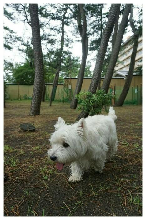 ばんくんと一緒♪ ご・遊庭 ドッグラン | West Highland White Terrier | Scoop.it