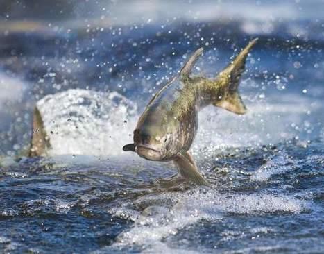 PD Editorial: California's native fisheries in peril - Santa Rosa Press Democrat   Aquaculture Directory   Scoop.it