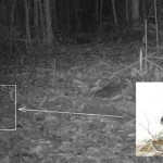 Extremely Rare Sumatran Striped Rabbit Captured on Camera | Science is Cool! | Scoop.it