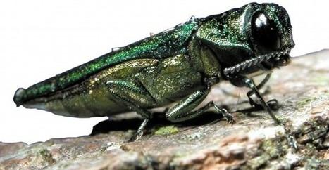 Wasps Brought In To Stop Emerald Ash Borer - BlackburnNews.com | Invasive species | Scoop.it