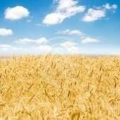 International Group Backs Bio Tech Wheat And Innovation - WNAX | Wheat Research | Scoop.it
