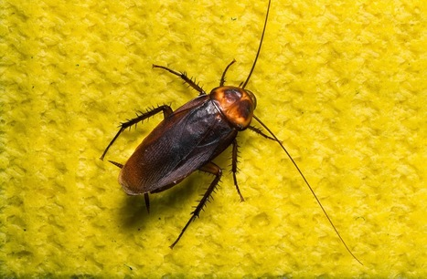 Some Tips to Control and Eliminate Cockroaches | R.I.P. Pest Management | Pest Exterminator Northern Beaches | Scoop.it