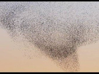 Nature Blows My Mind! 10 videos of the stunning, otherwordly flights of starlings | Life Principles : What can we learn from nature | Scoop.it