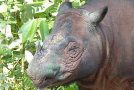 Hidden cameras reveal rare Sumatran rhino   Environment.   Scoop.it