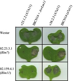 New Phytologist: The dispensable chromosome of Leptosphaeria maculans shelters an effector gene conferring avirulence towards Brassica rapa (2013) | Effectors and Plant Immunity | Scoop.it