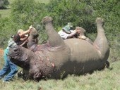 Rhino deaths - 14 in 24 hours : David Shepherd Wildlife Foundation | safarious | Scoop.it