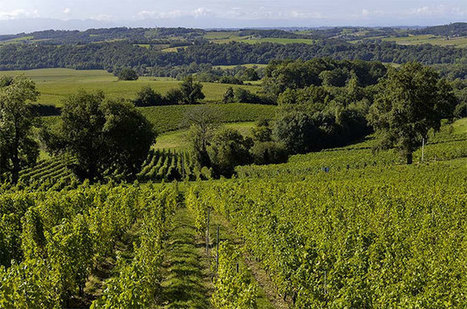 Anson: The next cult wine? Petit Manseng the 'great seducer' - Decanter | Wines of Bordeaux and south-west France | Scoop.it